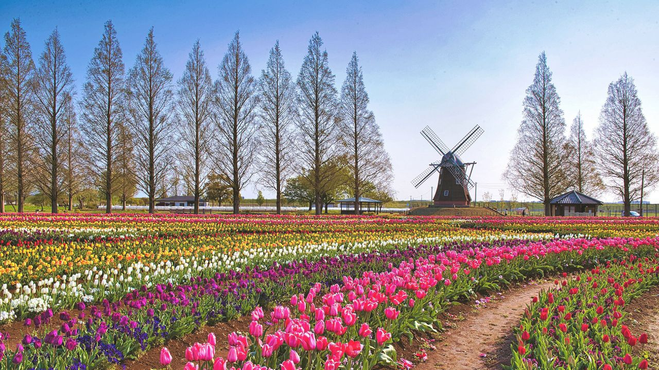 https://www.english-recipe.happy-clovers.com/wp-content/uploads/2020/09/TulipWindmill2MV1280.jpg